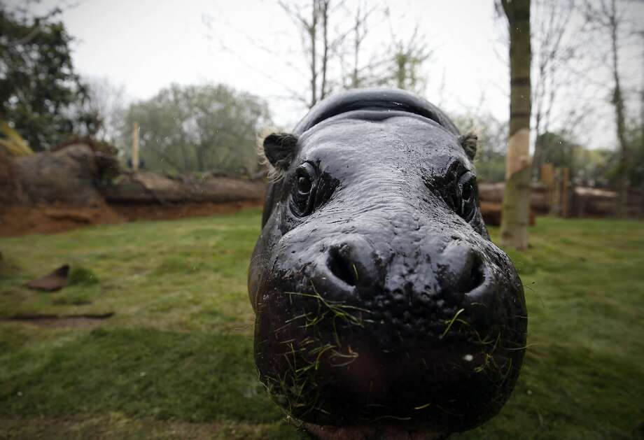 Mmm, fresh-mowed:Thug, 17-year-old pygmy hippo, wears a grassy mustache while rooting   around his new enclosure at the London Zoo. Photo: Adrian Dennis, AFP/Getty Images