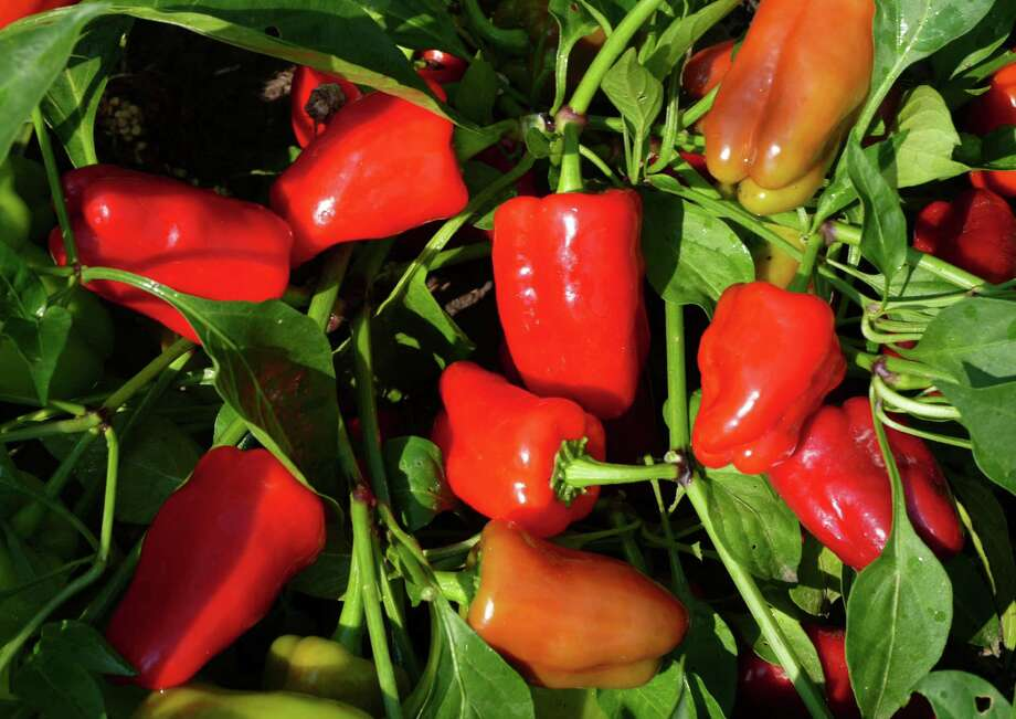 Peppers of all varieties will grow and produce fruit well in containers — and will look good doing it. Use potting mix and a slow-release fertilizer for the healthiest plants. Photo: Courtesy All-America Selections