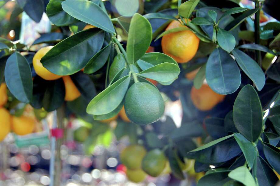 Pick up your citrus tree at next weekend's Saturday market and you'll be able to enjoy the fragrance of their spring blossoms. Photo: Picasa