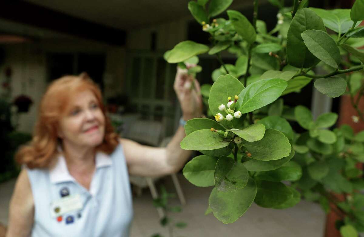 Pat Brown, a Bexar County Master Gardener, keeps a lime tree on the patio of her Windcrest home. The tree is blooming now, and she will harvest in late summer.