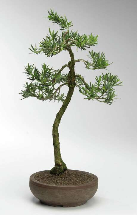 A podocarpus bonsai  ( James Nielsen / Houston Chronicle ) Photo: James Nielsen, Staff / © 2014  Houston Chronicle