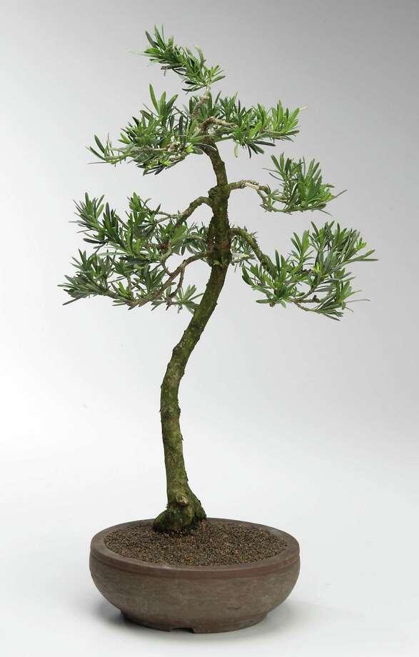 A podocarpus bonsai  ( James Nielsen / Houston Chronicle ) Photo: James Nielsen, Staff / © 2014  Houston Chronicle