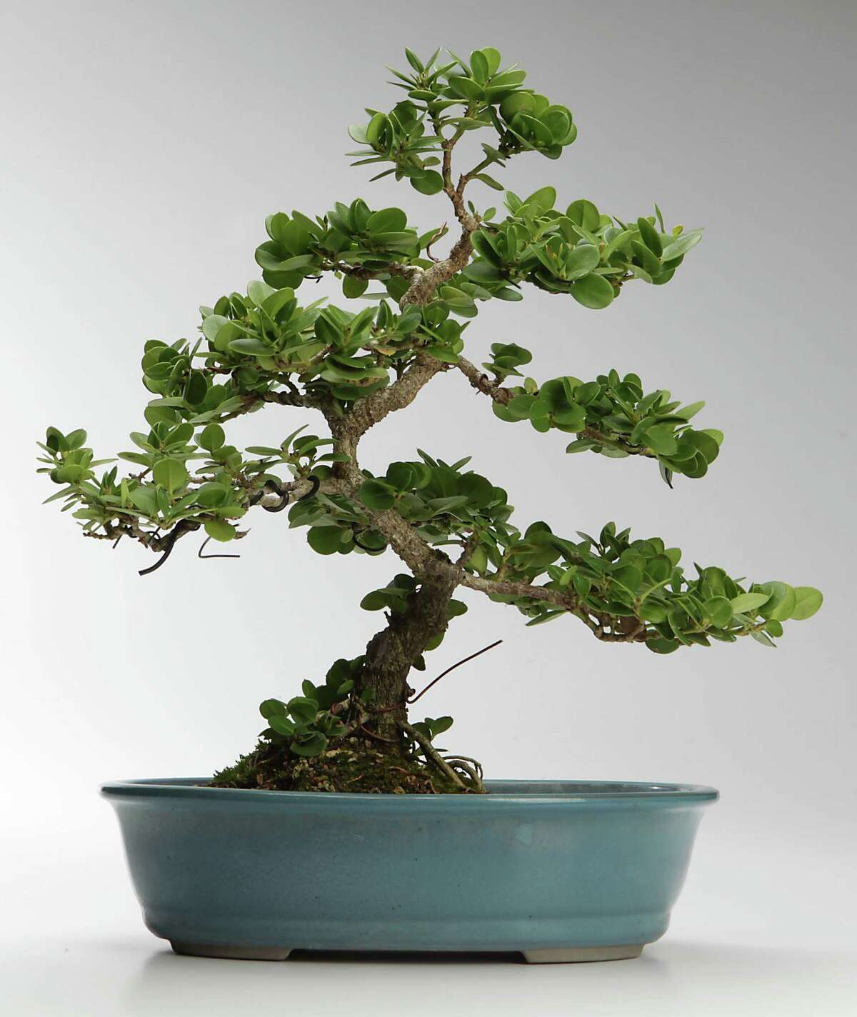 Bonsai Creates A Gardening Illusion