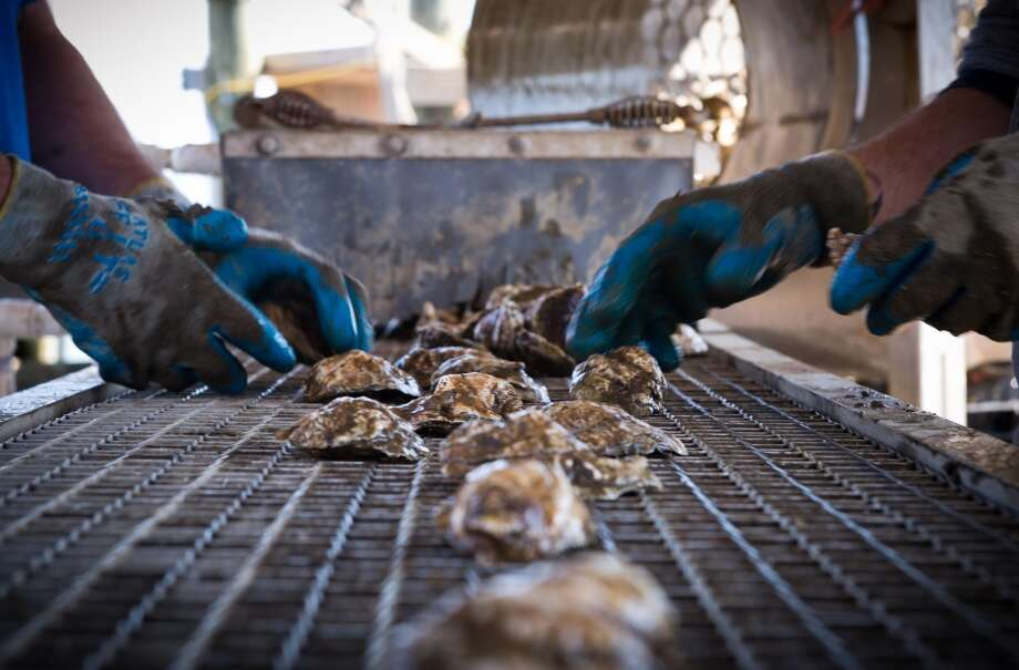 Maryland: Employees of the Hollywood Oyster company sort fresh oysters on a conveyor belt at the company farm in the waters of Chesapeake bay near Hollywood, MD on March 20, 2014. During the last two years due to the high demand the farm doubled  its production from two to nearly four million oysters per year. Cage after cage, oysters destined to be salted or sprinkled with lemon juice are pulled out of the majestic Chesapeake Bay where they had nearly disappeared 20 years ago, until being reintroduced. Photo: MLADEN ANTONOV, AFP/Getty Images