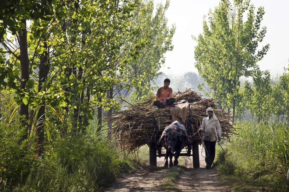 India: A worker leads a bullock hauling a cart laden with sugarcane to the Simbhaoli Sugars Ltd. mill in the district of Hapur, Uttar Pradesh, India. Sugar output in India, the world's largest producer after Brazil, is set to climb for the first time in three years as a subsidy for raw exports and abundant dam water spur farmers to increase Photo: Kuni Takahashi, Bloomberg