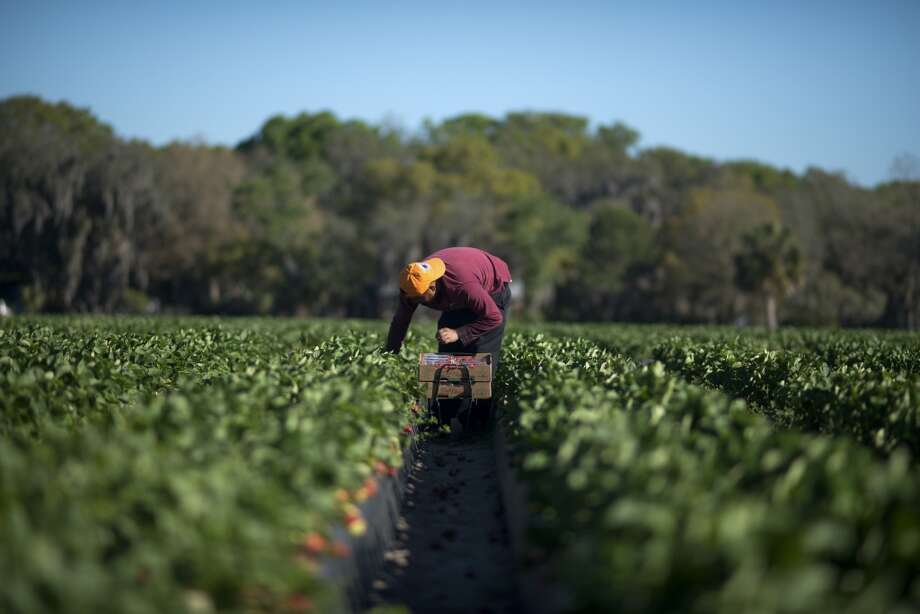 Florida: A worker picks fresh strawberries at the Parksdale Farm Market farm in Plant City, Florida, U.S., on Friday, March 14, 2014. Plant City, Florida is the only region in the United States that grows winter strawberries, according to the Florida Strawberry Growers Association. Photo: Ty Wright, Bloomberg