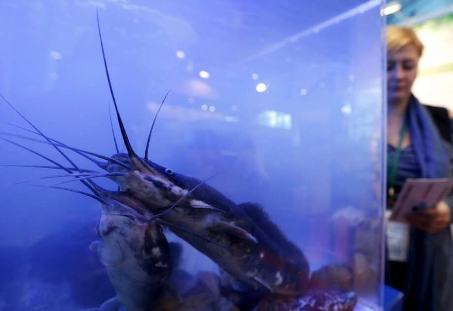 "Russia: Tsar pink catfish is displayed during the agro-industrial exhibition ""Agrorus"" in St. Petersburg April 4, 2014. The exhibition, which opened on Friday, exhibits produce from more than 30 Russian regions, including baked goods, meat products, beekeeping, fish, alcoholic drinks, canned vegetables and other products, according to organizers. Photo: ALEXANDER DEMIANCHUK, Reuters"
