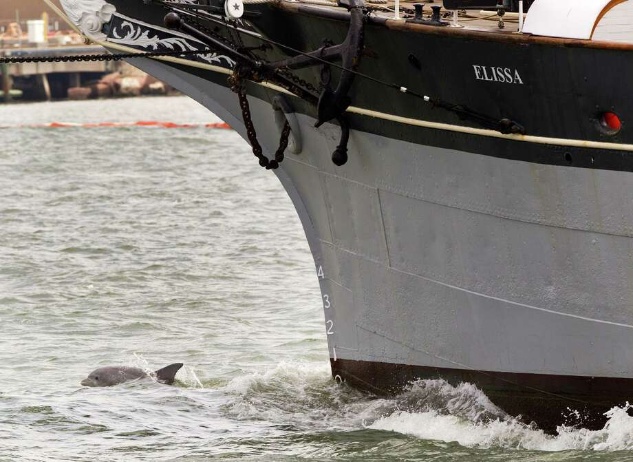 A dolphin swims off the bow of the 1877 tall ship Elissa as it heads into the Gulf in March. Dozens of dolphins have been found dead after last month's oil spill in Galveston Bay. Photo: Brett Coomer, Staff / © 2014 Houston Chronicle