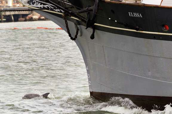 A dolphin swims off the bow of the 1877 tall ship Elissa as it heads into the Gulf in March. Dozens of dolphins have been found dead after last month's oil spill in Galveston Bay.