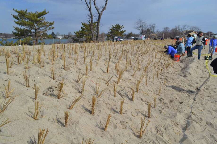 On Sunday from 9 a.m. to 1 p.m., Friends of Greenwich Point are seeking volunteers for a dune grass planting event at Innis Arden Cottage, Greenwich Point. Photo: Contributed Photo / Greenwich Citizen