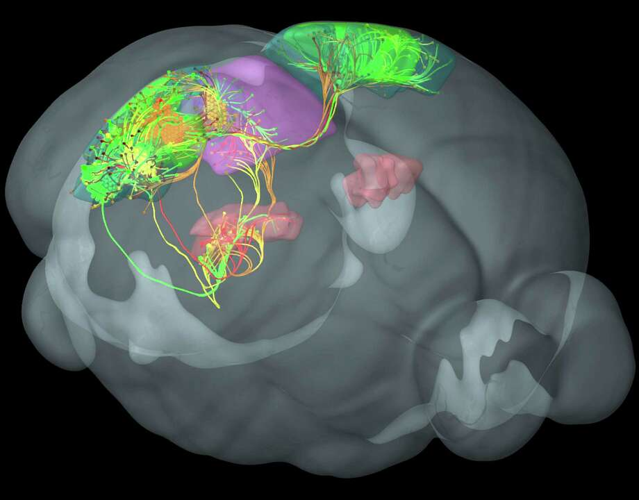 This image provided by the Allen Institute for Brain Science on March 28, 2014 shows connections between four distinct visual areas in the mouse cortex, in green, yellow, red, orange. These cortical areas are highly interconnected with each other and with additional areas involved in vision in the thalamus, pink, and midbrain, purple. The research published Wednesday, April 2, 2014 is the first brain-wide wiring diagram for a mammal at such a level of detail. While it does not reveal every connection between each of the rodent's 75 million brain cells, it shows how parts of the brain are connected. Photo: Uncredited, AP  / AP2014