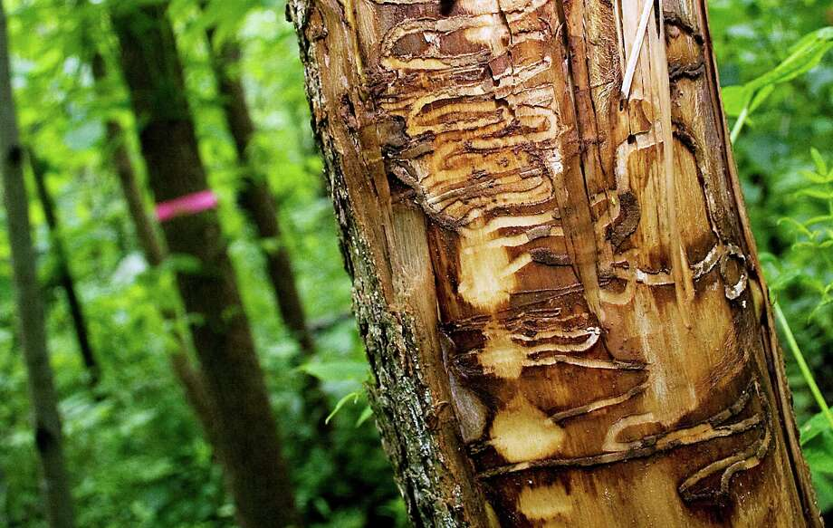 In this June 22, 2011 file photo are tracks from Emerald Ash Borers left in a black ash tree outside the Riveredge Nature Center in Newburg, Wis. Wisconsin wildlife officials have proposed their first overhaul of the state's 2009 invasive species list to relax efforts to eliminate the emerald ash borer while getting tougher on more than 80 other plants, animals and algae. Photo: John Ehlke, AP  / The West Bend Daily News