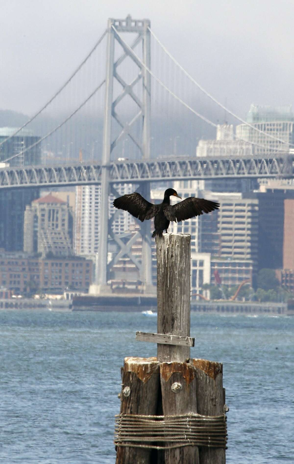A cormorant, a marine diving bird, dries off his wings adjacent to the lower desk of the eastbound lanes of the new Bay Bridge. Friday July 10, 2009.