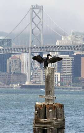 A cormorant, a marine diving bird, dries off his wings adjacent to the lower desk of the eastbound lanes of the new Bay Bridge. Friday July 10, 2009