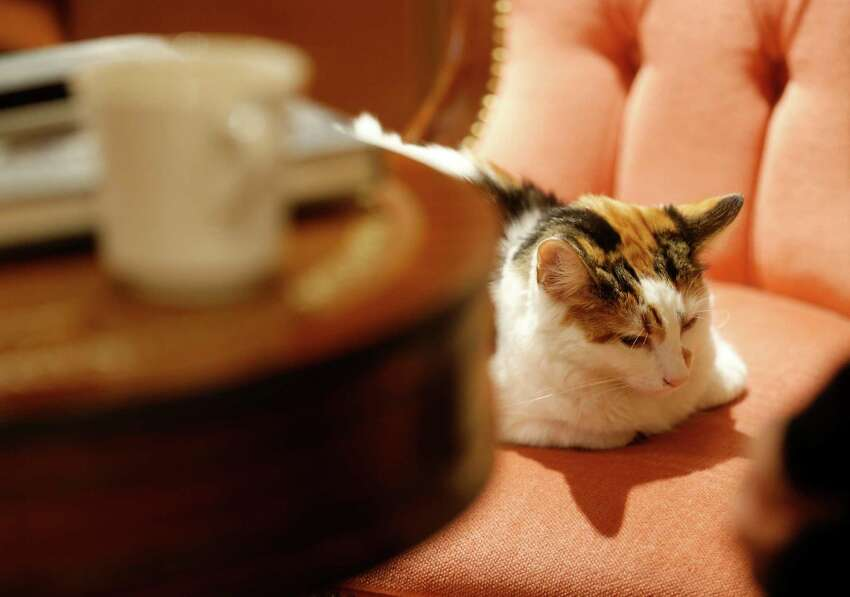 A cat sits on a chair by a table in the newly opened Lady Dinah's Cat Emporium in London, Friday, April 4, 2014. Feline company is exactly what one of London's newest cafes is offering - and stressed-out city-dwellers are lapping it up.