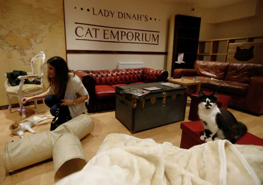 A cat looks on, right, as a visitor strokes a cat in the newly opened Lady Dinah's Cat Emporium in London, Friday, April 4, 2014. Feline company is exactly what one of London's newest cafes is offering - and stressed-out city-dwellers are lapping it up.