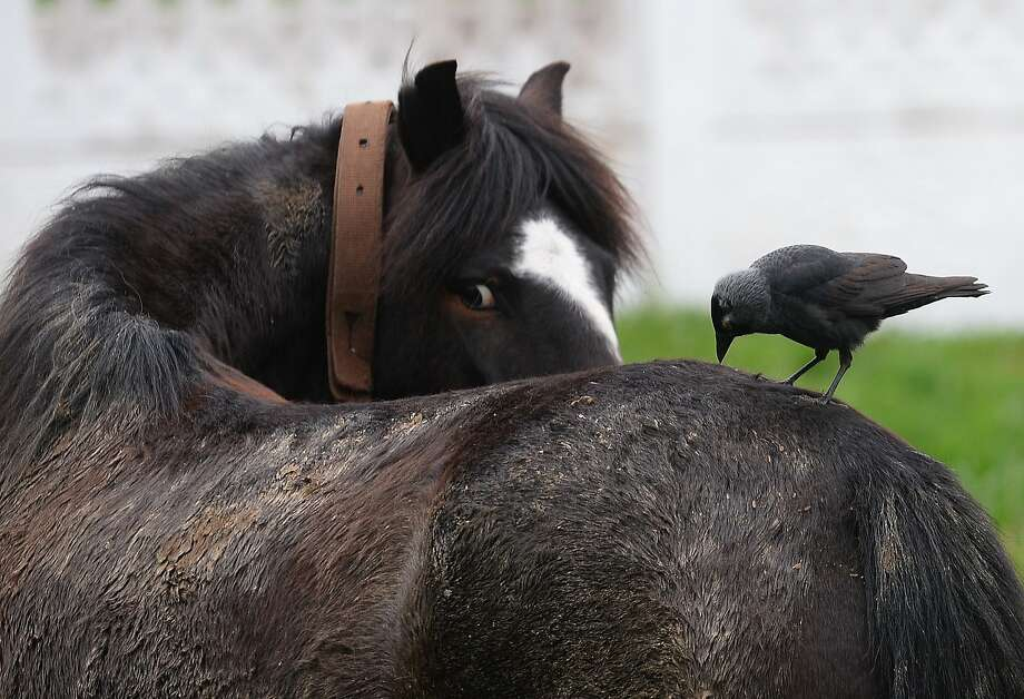 A bird sits on the back of a horse in Frumusita village, some 300km east of Bucharest, on April 6, 2014. AFP PHOTO / DANIEL MIHAILESCUDANIEL MIHAILESCU/AFP/Getty Images Photo: Daniel Mihailescu, AFP/Getty Images
