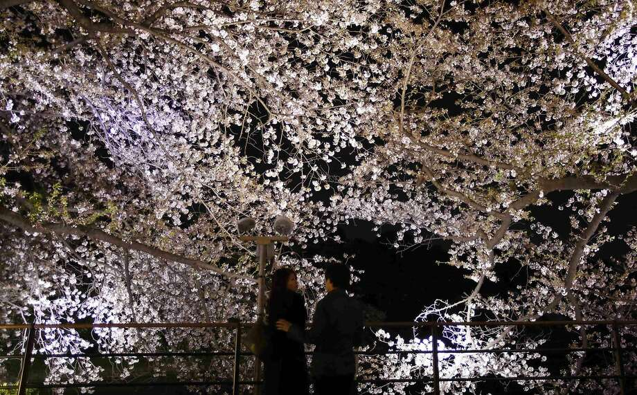 Visitors stand under illuminated cherry blossoms beginning to scatter along the Chidorigafuchi moats in Tokyo April 6, 2014. Many people enjoy viewing the blossoms across the country during this season. REUTERS/Yuya Shino (JAPAN - Tags: ENVIRONMENT TRAVEL SOCIETY) Photo: Yuya Shino, Reuters