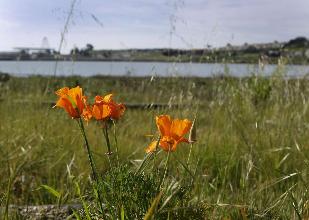 Poppies bloom near the shoreline at Heron's Head Park in San Francisco, Calif. on Thursday, April 3, 2014.
