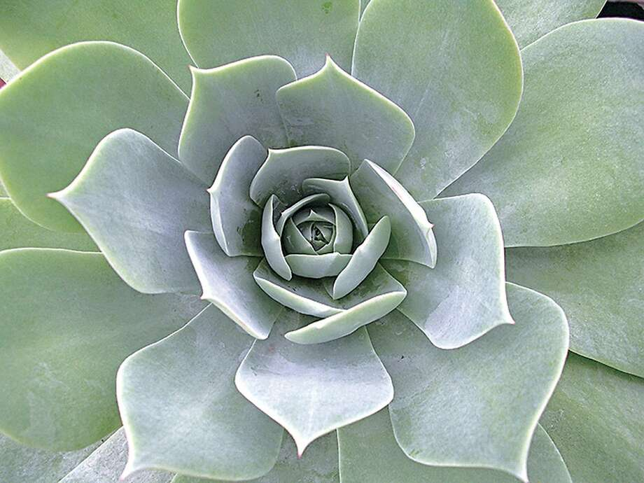 Dudleya pulverulenta, which is able to maintain its silvery color throughout the year, forms 8-inch-tall rosettes that eventually will reach a span of 2 feet. Photo: Annie's Annuals & Perennials