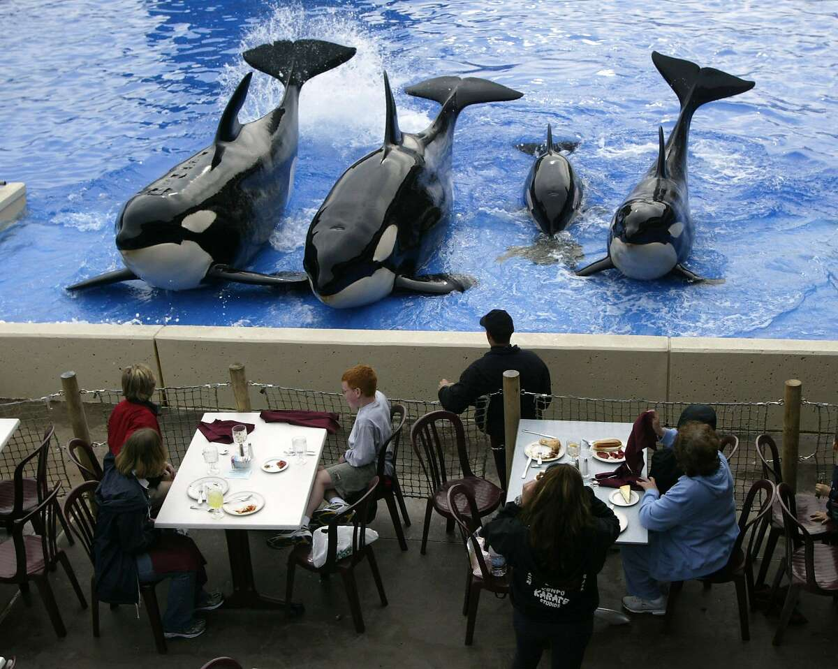 Killer whales (from left to right:) Kasatka - Takara - Nakai and Kohana - at Sea World in San Diego give lunchtime diners an up close goodbye at the end of the show.
