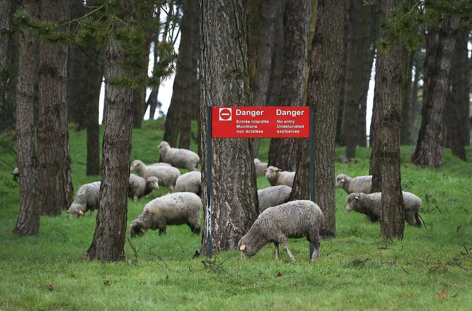 Sheep graze in an area still dangerous from unexploded World War One munitions at the Canadian National Vimy Memorial in Vimy, France. A number of events will be held this year to commemorate the centenary of the start of World War One. Photo: Peter Macdiarmid, Getty Images