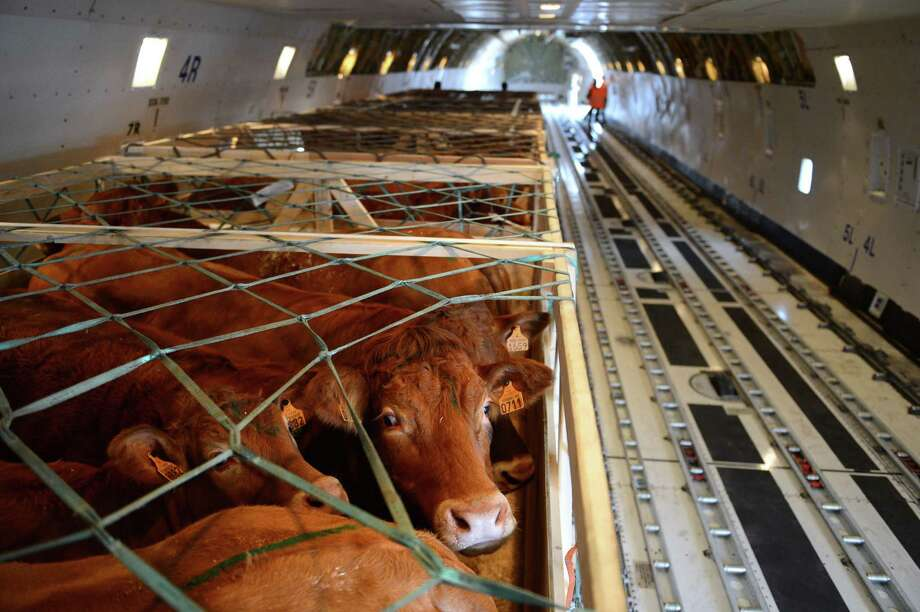 Cows are pictured in a 747 bound for Mongolia on September 11, 2012 at the Marcel Dassault airport in Deols, France. Photo: ALAIN JOCARD, AFP/Getty Images / 2012 AFP