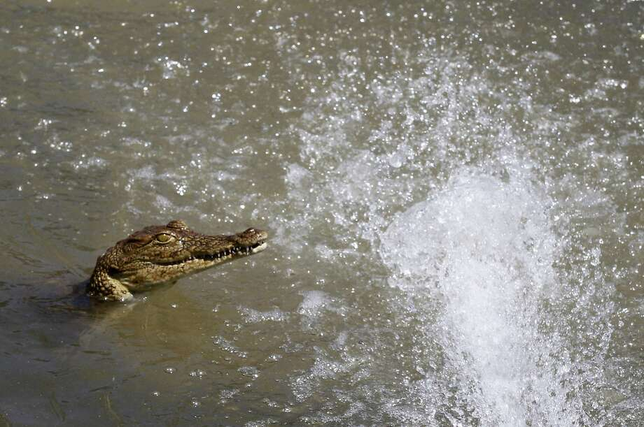 Go ahead, splash all you want. You're not getting away: A crocodile pokes its head out of the water during a disturbance in its pool at Nyanyana Crocodile Farm in Kariba, Zimbabwe. Photo: Philimon Bulawayo, Reuters
