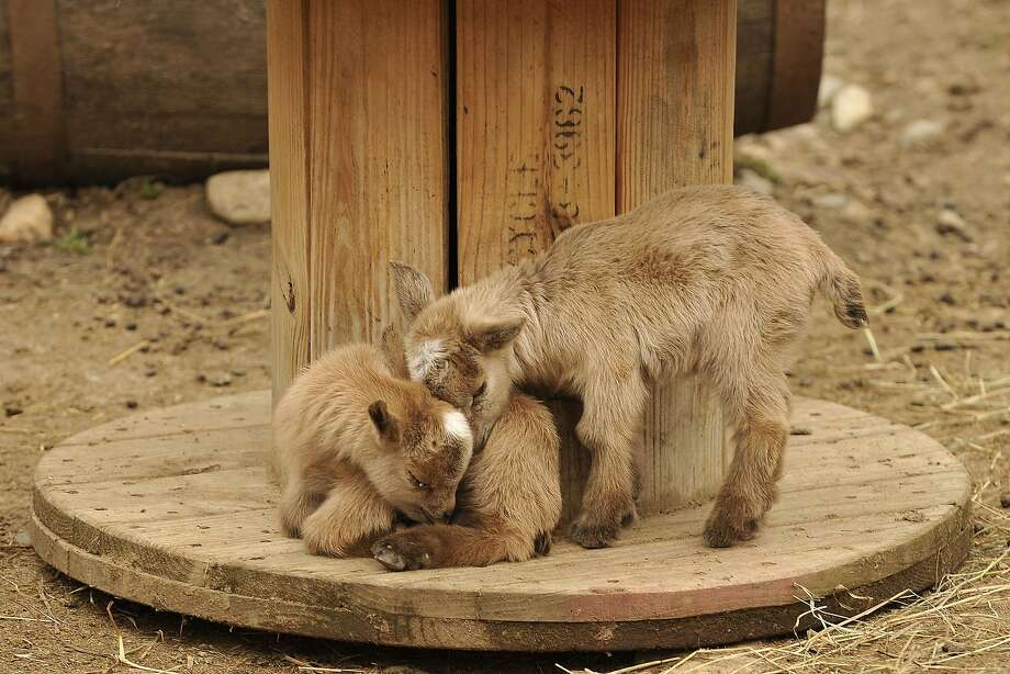I don't mean to be a butt-inski, but ... Bowie warms his nose against his brother, Iggy's neck at the Stamford Museum and Nature Center in Stamford, Conn. The two kids are the newest additions to the center's farm animals. Photo: Jason Rearick, Connecticut Post