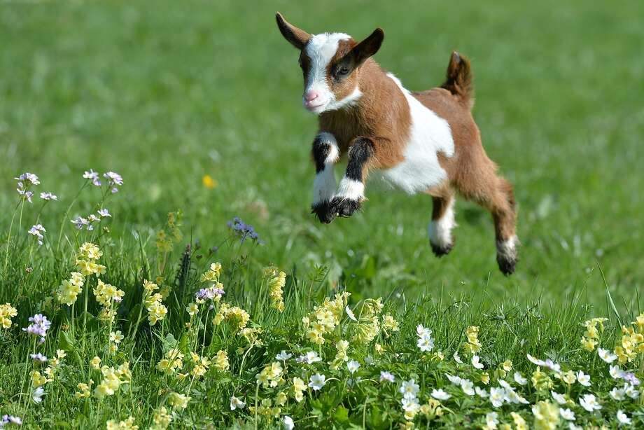 Spring in the Aps:Visit beautiful Gut Aiderbichl, land of the floating goats, in the Austrian province of Salzburg. Photo: Kerstin Joensson, Associated Press