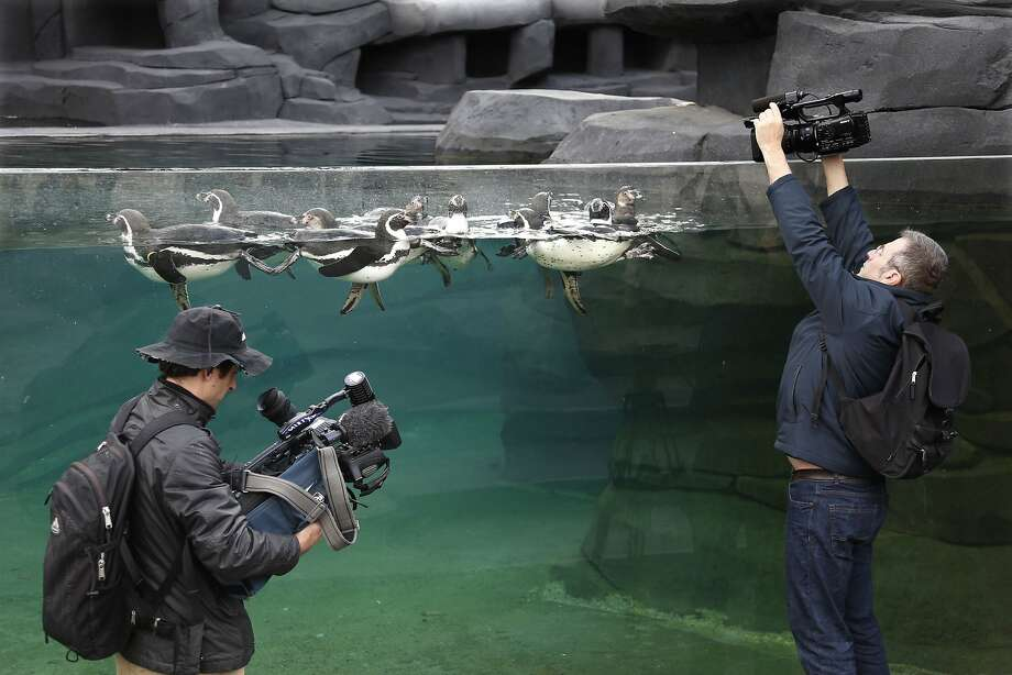 I knew we should have brought the stool: When filming Humboldt penguins at the Paris Zoological Park in Bois de Vincennes, it helps if you're tall. Photo: Charles Platiau, Reuters