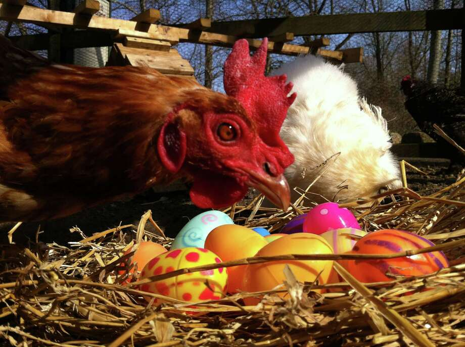 Area organizations are hosting several events this weekend geared toward celebrating spring and Easter traditions. For instance, Stepping Stones Museum for Children will host its inaugural 'Egg-straordinary Egg-stravaganza,' on Saturday, April 19, 2014. It is the same day one can participate in an annual egg hunt at the Stamford (Conn.) Museum and Nature Center and see some of the site's actual egg layers, as pictured above. Contributed photo/Christine D'Andrea Photo: Contributed Photo / Stamford Advocate Contributed