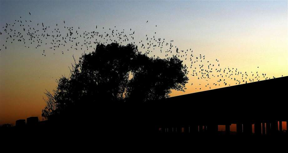 The Yolo Causeway is home to about 250,000 bats. Photo: Joy Elson, Yolo Basin Foundation