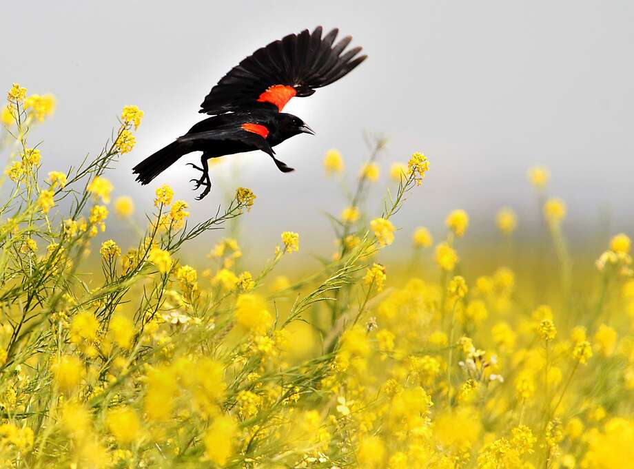 A red winged blackbird goes from flower to flower in a field of wild mustard in southeast Bakersfield, Calif., Tuesday, April 8, 2014. (AP Photo/The Bakersfield Californian, Casey Christie) MANDATORY CREDIT; MAGS OUT; NO SALES; ONLINE OUT; TV OUT Photo: Caey Christie, Associated Press