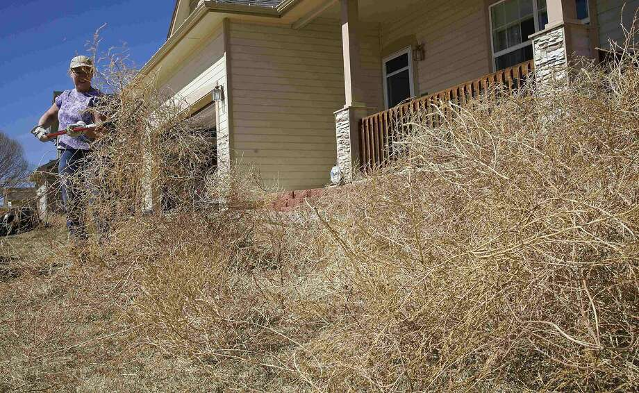Dee Glynch rakes a giant pile of tumbleweeds in front of her house in Fountain, Colo., last month. Photo: Rick Wilking, Reuters