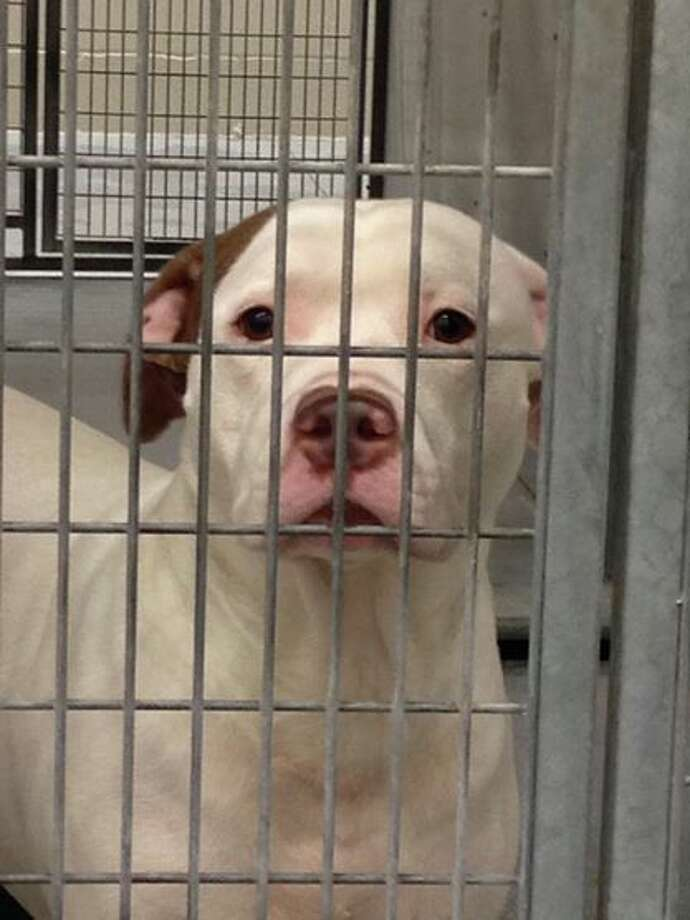 Gus, a Texas pit bull saved from death row earlier this year when Cesar Millan's Dog Psychology Center agreed to take him in for rehab is facing a new death sentence after biting two people in California.WARNING: Photos contain graphic dog bite images.  Photo: Save Sweet Gus/Facebook