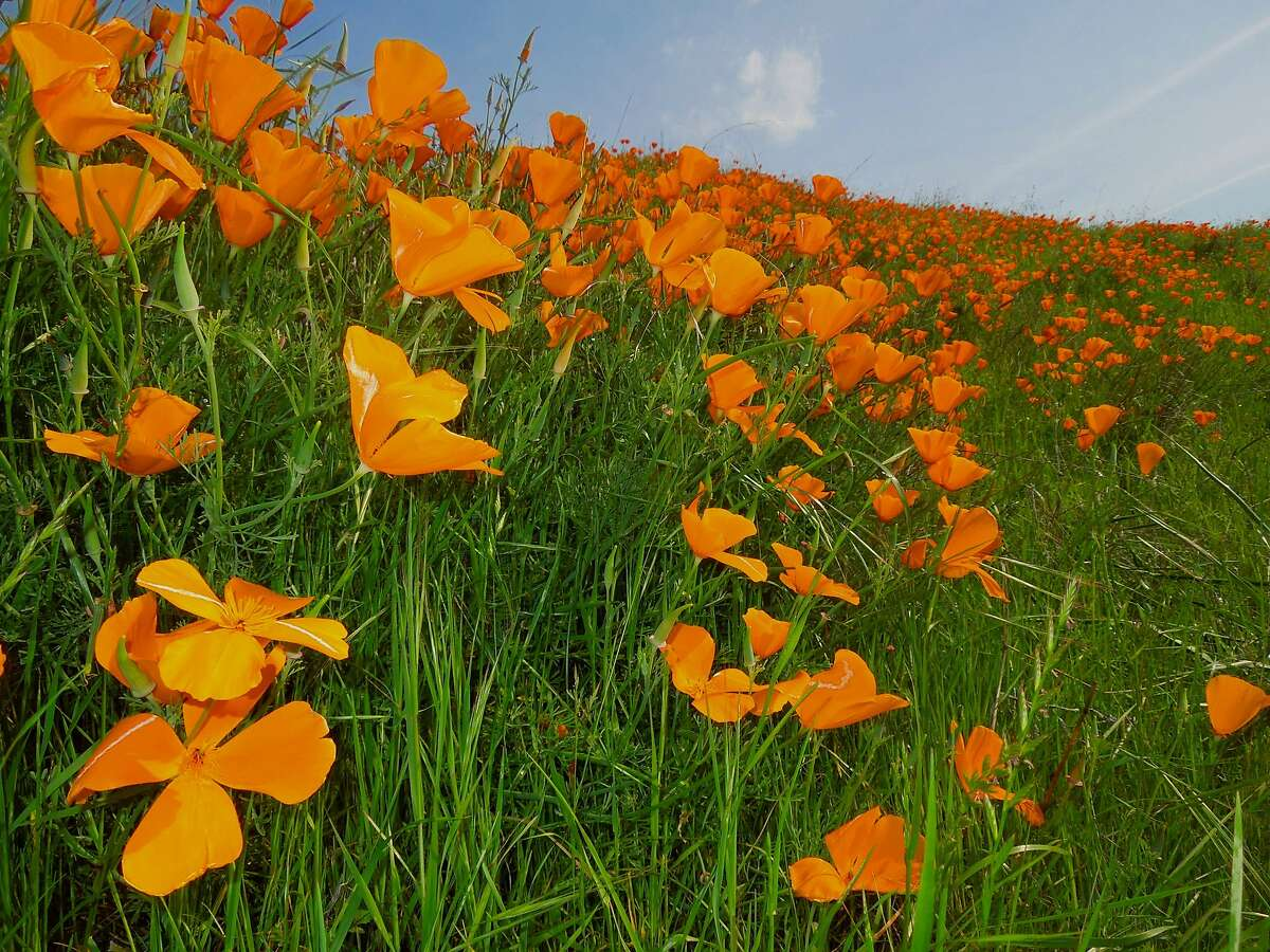 Rafts of poppies blooming this week in Tice Valley near Walnut Creek on slope of Mount Diablo. Heavy rains last week on the mountain followed by bright sun and warm temps has set off wildflower blooms.