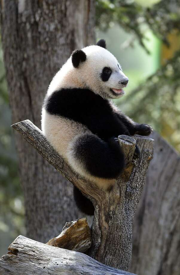This is more comfortable than it looks:Seven-month-old Xing Bao takes a seat in the crook of a tree stump at Zoo Aquarium in Madrid. Photo: Gerard Julien, AFP/Getty Images