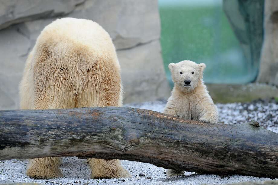They're taking pictures of your butt, Mom: Lale stares at photographers while exploring her enclosure at the zoo in Bremerhaven, Germany, for the first time. Photo: Carmen Jaspersen, Associated Press