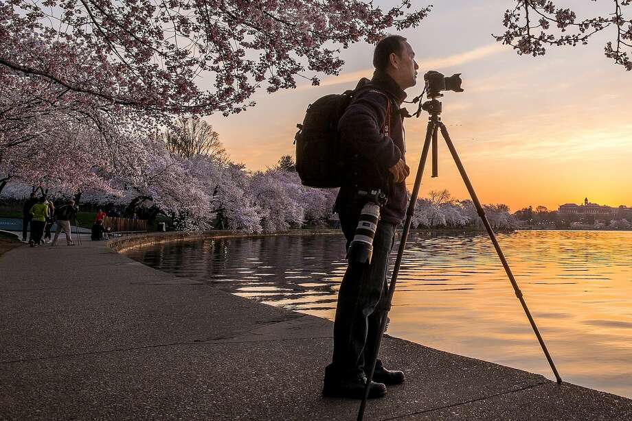 While photographing the cherry blossomsaround the Tidal Basin in Washington, D.C., at sunrise, Tony Chung becomes the subject for another early-rising photographer. Photo: J. David Ake, Associated Press