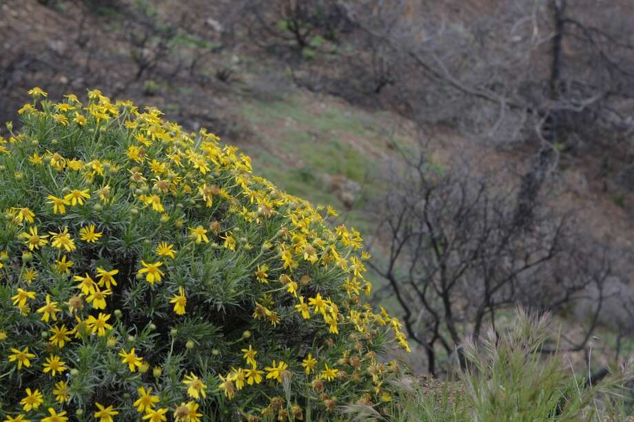 This cluster of yellow blooms from a woolly sunflower provides a bright contrast to burned out area from Morgan Fire directly behind it, with a few patches of recently sprouted grass Photo: Tom Stienstra