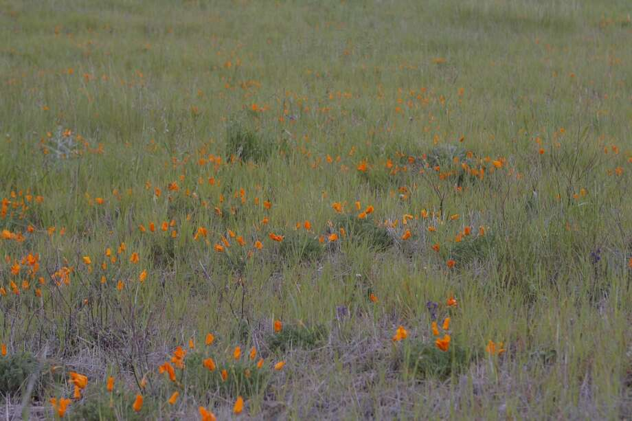 Golden poppies and other wildflowers are at peak bloom this week; these poppies are along Summit Road Photo: Tom Stienstra