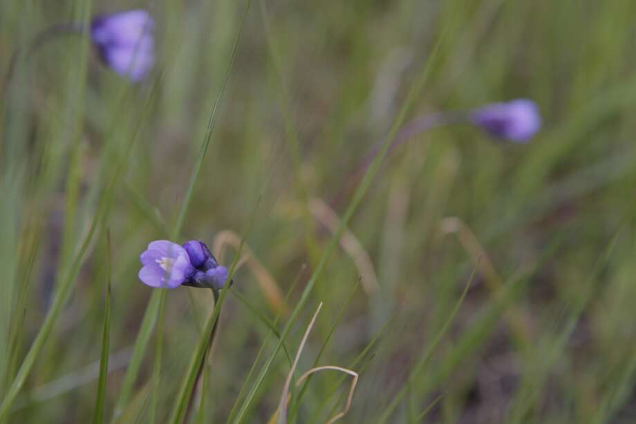 Wild hyacinth blooming this week in foothill grasslands of Mount Diablo Photo: Tom Stienstra