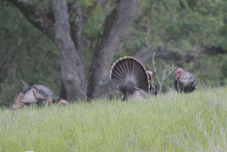 As spring peaks, wild turkeys strut their stuff Photo: Tom Stienstra