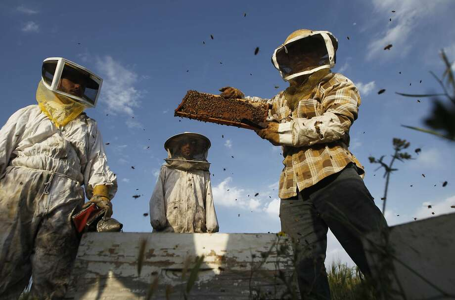 TOPSHOTS Ibrahem Shurab (R) a beekeeper inspects a rack of honey-bees on April 9, 2014 at his farm in Khan Yunis town, in the southern Gaza Strip, near the Israeli border. The apiarys 450 bees produce some 4,000 kilos of honey every year, that is only sold in the Gaza Strip. TOPSHOTS/AFP PHOTO/ SAID KHATIBSAID KHATIB/AFP/Getty Images Photo: Said Khatib, AFP/Getty Images