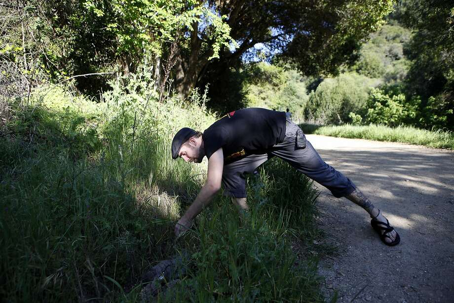 Michael Starkey of Save the Frogs searches for amphibians under a fallen log at Strawberry Canyon in Berkeley. Photo: Michael Short, The Chronicle
