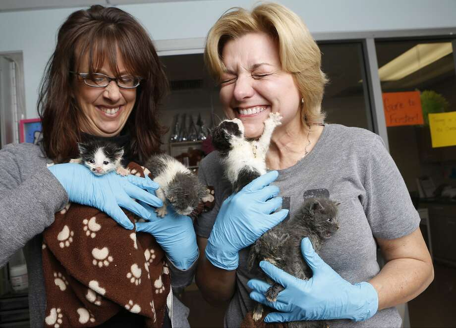 Too many kittens:Manager Michelle Sathe (left) and volunteer Sarita Carden contend with a litter of kittens at the Best Friends Animal Society no-kill kitten nursery in the Mission Hills area of Los Angeles. Sadly, tens of thousands of people who think they are saving abandoned wild kittens by taking them to shelters are hastening their deaths because most shelters don't have the staffs to care for them. Photo: Damian Dovarganes, Associated Press
