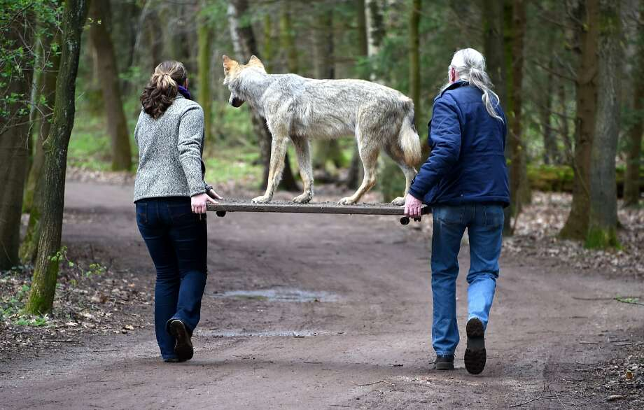Thanks for the lift, folks!Employees of the wild park in Eekholt, Germany, carry a wolf that was killed in a car accident and stuffed to the park's new wolf exhibition. Photo: Carsten Rehder, AFP/Getty Images
