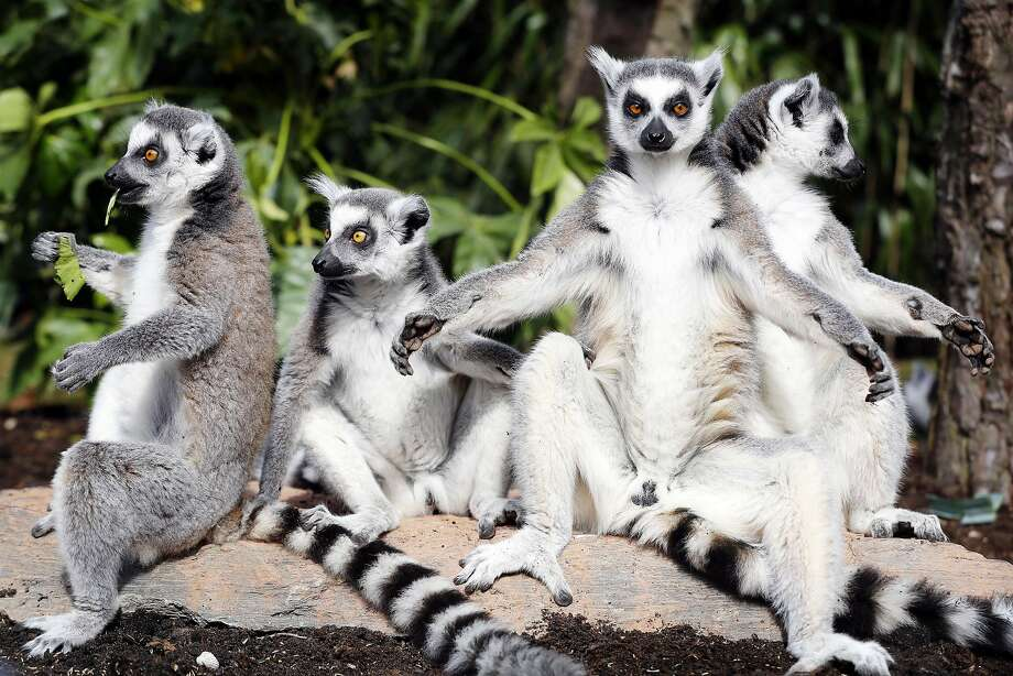 We don't want see to your junk, lemurs:The Ring-tailed lemurs   at the Avifauna Bird Park in Alphen aan den Rijn, Netherlands, aren't the most modest of nocturnal mammals. Photo: Bas Czerwinski, AFP/Getty Images