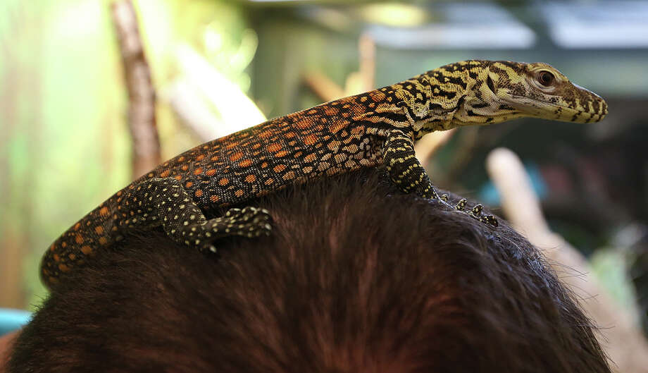 Phoenix, a Komodo dragon pup, sits on top of Craig Pelke's head at the San Antonio Zoo, Thursday, April 10, 2014. The pup was born early this month and is the offspring of Scatha, a female dragon that died on December 16 due to smoke inhalation from a fire in the zoo's reptile house. Pelke is the curator of reptiles and raptors at the zoo. Photo: JERRY LARA, San Antonio Express-News / © 2014 San Antonio Express-News